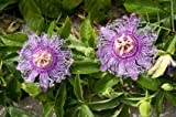 9GreenBox - Maypop Purple Passion Flower - 4'' Pot
