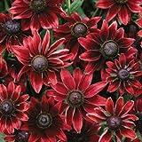 30+ Rudbeckia Cherry Brandy Flower Seeds /Perennial