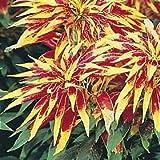 150 TRICOLOR AMARANTHUS PERFECTA (Summer Poinsettia/Joseph's Coat) Flower Seeds