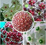 Hoya seeds, potted flower seed, variety complete Hoya carnosa seeds 100 particles / bag