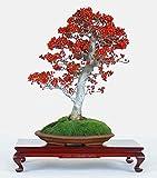 Ilex Aquifolium Christmas Common Holly * Bonsai Tree 10 Seeds Evergreen Amazing * Rare
