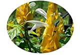 YELLOW Shrimp Live Tropical Plant Golden Unusual Flowers Attract Butterflies Hummingbirds Starter Size 4 Inch Pot Emeralds TM