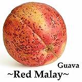 ~RED MALAY~ Psidium guajava RED FLESH GUAVA FRUIT TREE Live potted small plant