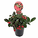"Cherry Berries Wintergreen Plant - Gaultheria -Teaberry- Aromatic Leaves-4"" Pot"