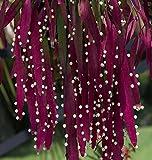 Pseudorhipsalis ramulosa | Red Rhipsalis | Mistletoe Cactus | 10_Seeds