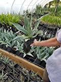 1 gallon AGAVE Americana live plant HUGE