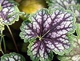 Fancy-leaf Coral Bells,Heuchera americana Marvelous Marble,Perennial, Zone: 4-9(10 Seeds)