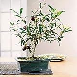 New Rare Olive Bonsai Tree (Olea Europaea) 10+ Seeds