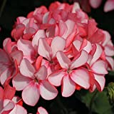 Geranium Flowers Seeds Perennial Bonsai Plants Seeds Pelargonium Graveolens potted for home and garden 30PCS 9