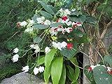 Clerodendrum thomsoniae bleeding heart vine .