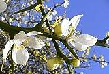 Poncirus trifoliata | Contorted Flying Dragon | Trifoliate Orange | 10_Seed