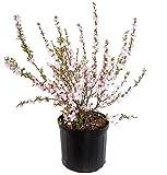 Prunus glandulosa 'Rosea' (Pink Flowering Almond) Shrub, #3 - Size Container
