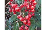 Nandina domestica 25 Seeds Red Heaveny Bamboo Tree Good Luck Plant Decorative red Berries for winter interest Bonsai Houseplant or Standard
