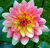 Christine Decorative Dahlia - 2 Bulb Clumps