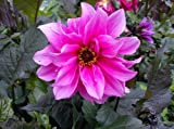 Fascination Dahlia Bulb - Bronze Leaves/Pink Flowers - #1 Size Root Clump