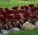 Celosia Dracula 100 seeds