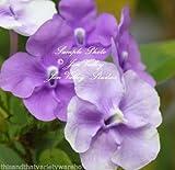 Brunfelsia pauciflora Floribunda Yesterday Today Tomorrow 10 Seeds Dwarf Plant