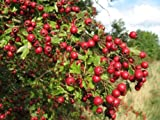 Single Seed English Hawthorn, Crataegus monogyna, Tree Seeds (Showy, Hardy) 20