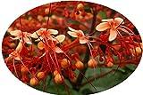 Starshine Orange Pagoda Flower Semi-Tropical Live Plant Clerodendrum paniculatum Attracts Hummingbirds Starter Size 4 Inch Pot Emerald TM