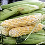 """160 Seeds, Sweet Corn""""Butter & Sugar"""" (Zea mays) Seeds By Seed Needs"""