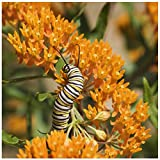 Earthcare Seeds Butterfly Milkweed 50 Certified Pure Live Seed, True Native Seed - (Asclepias tuberosa) Heirloom - Non GMO