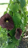 25 DUTCHMAN'S PIPE VINE SEEDS butterfly host plant Pipevine calico flower