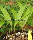 Acai Palm (Princess Palm) Edible Berry Euterpe Oleracea Live Small Potd Plant