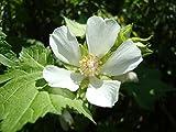 Kitaibelia vitifolia CHALICE FLOWER Seeds!