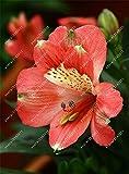 100pcs/bag Alstroemeria seeds Peruvian Lily Alstroemeria Inca Bandit - Princess lily bonsai flower seeds planta for home garden 11