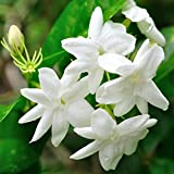"Hardy Jasmine - Jasminum Officinale - 1 Live Starter Plug Plant Rooted in 2.5"" Pot - Deliciously Fragrant 