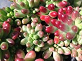 Succulent plant, Sedum Aurora is a really cute plant.