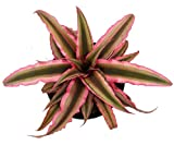 """Pink Earth Star Plant - Cryptanthus - Easy to Grow - 4"""" Pot"""