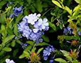 2 Plumbago auriculata Blue Well Rooted Live Starter Plant
