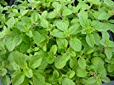 Italian Oregano Live Herb Plant