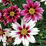 ADB Inc Rare Changeable Colors Li'l Bang Starlight Coreopsis Flower Seeds