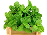 Round-leafed Mint - Seeds