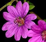 Hardy Perennial Geranium pyrenaicum deep Mauve Pink Flowers 10 Seeds