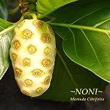 ~TAHITIAN NONI~ Green form Morinda Citrifolia LIVE Small Potted Starter Plant
