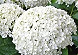 Annabelle Hydrangea - Live Plant Shipped Over 1 Foot Tall by DAS Farms (No California)