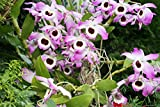 Dendrobium nobile from the Orchid family with 28000 species .