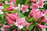 OLD Fashioned Weigela Florida Bush Shrub Flower Seeds