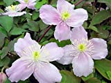 "Montana Mayleen Clematis - Very Fragrant - 2.5"" Pot"