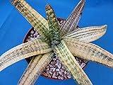 "Gasteria batesiana Variegated Beautiful Plant! Great Succulent! 12"" Wide E7"