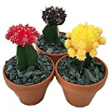 "3 Neon Grafted Moon Cactus Plants - Easy to Grow - Colorful - 3"" Clay Pot"