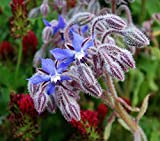 Borage Seeds - A refreshing, mild cucumber-like fragrance!! A Very Pretty Plant!(100 - Seeds)