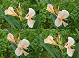 10 SEEDS LIGHT PEACH CANNA INDICA LILY Ground or Pond plants + FREE PHYTO Flower Fresh & Viable From Garden