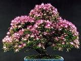 25 MIMOSA / PERSIAN SILK TREE Albizia Julibrissin Seeds