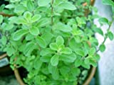 """Clovers Garden Sweet Marjoram Herb Plants- Non GMO- Two (2) Live Plants - Not Seeds -Each 4""""-7""""tall- in 3.5 Inch Pots - Includes Clovers Garden Copyrighted Plant Care Guide"""