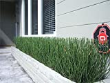 Horsetail Aka Equisetum Hyemale Live Plant Fit 1 Gallon Pot