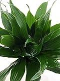 Janet Craig Dragon Tree - Dracaena fragrans - 4